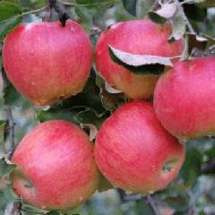 Сорт яблони Подарок Графскому 74