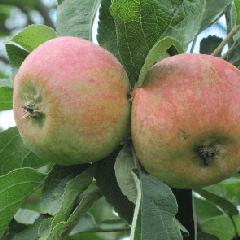 яблоня коробовка фото