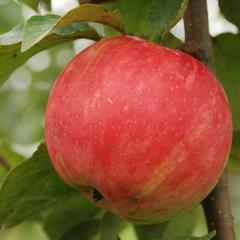 яблоня услада опылители