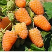 малина оранжевая ремонтантная сорта