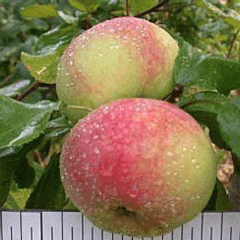 яблоня осенняя радость описание фото