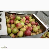 Яблоня дарья описание сорта фото отзывы