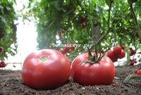 Томат розовая катя отзывы фото урожайность