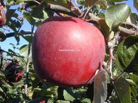 Сорт яблони энтерпрайз фото и описание сорта