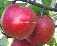 Яблоня гала маст описание сорта фото отзывы