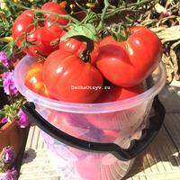Томат гордость застолья отзывы фото урожайность