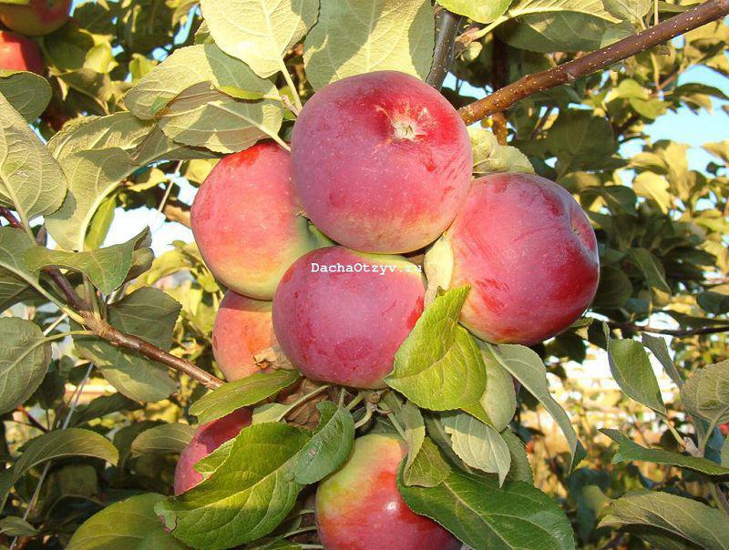 Яблоня Орлик - отзывы, описание, фото