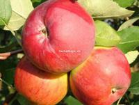 Яблоня апрелька описание фото отзывы